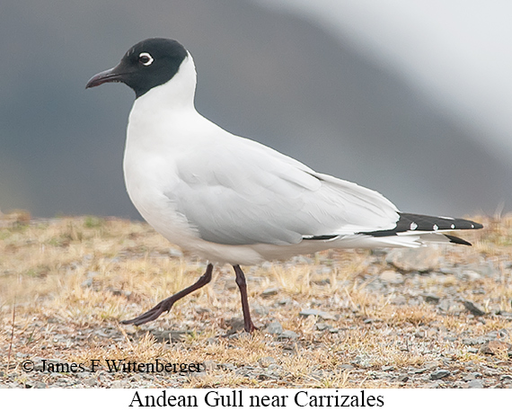 Andean Gull - © James F Wittenberger and Exotic Birding Tours