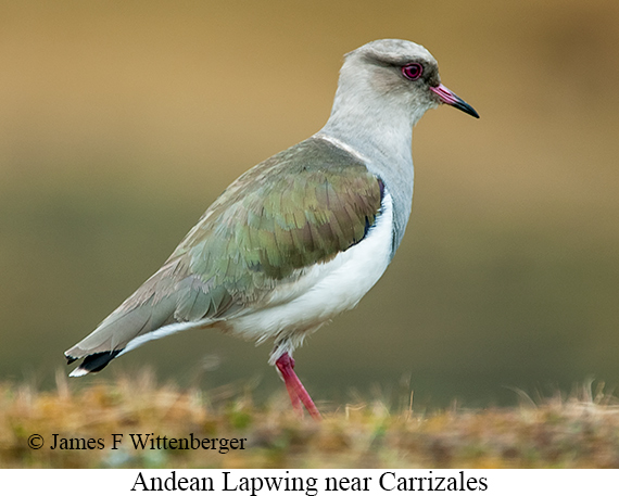 Andean Lapwing - © James F Wittenberger and Exotic Birding Tours