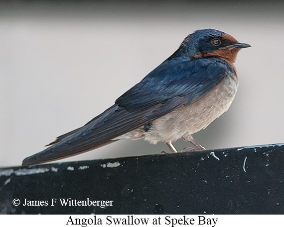 Angola Swallow - © The Photographer and Exotic Birding LLC