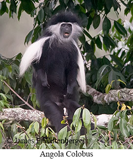 Angolan Colobus - © James F Wittenberger and Exotic Birding Tours