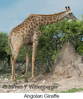 Angolan Giraffe - © James F Wittenberger and Exotic Birding LLC