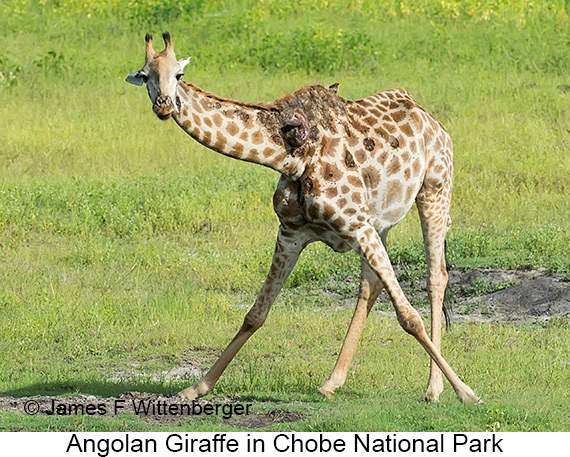 Angolan Giraffe - © The Photographer and Exotic Birding LLC