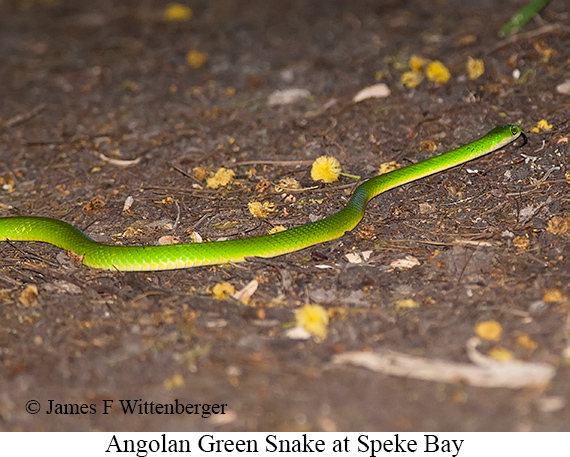 Angolan-green Snake - © James F Wittenberger and Exotic Birding Tours
