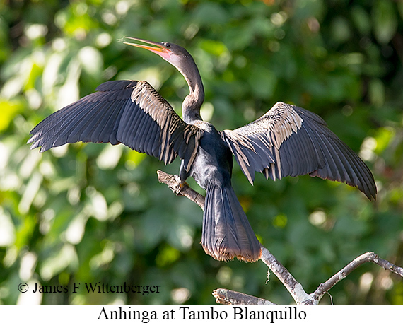 Anhinga - © James F Wittenberger and Exotic Birding Tours