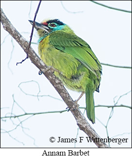 Annam Barbet - © James F Wittenberger and Exotic Birding Tours