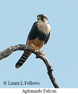 Aplomado Falcon - © Laura L Fellows and Exotic Birding Tours