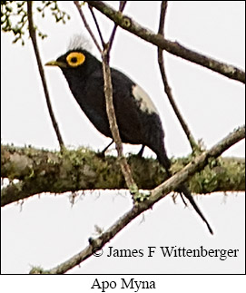 Apo Myna - © James F Wittenberger and Exotic Birding Tours