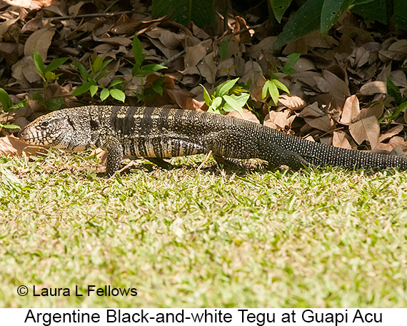 Argentine Black-and-white Tegu - © Laura L Fellows and Exotic Birding Tours