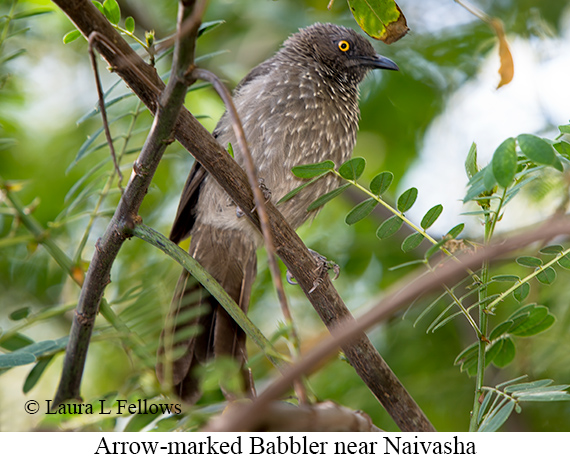Arrow-marked Babbler - © Laura L Fellows and Exotic Birding Tours