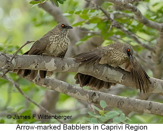 Arrow-marked Babbler - © The Photographer and Exotic Birding LLC