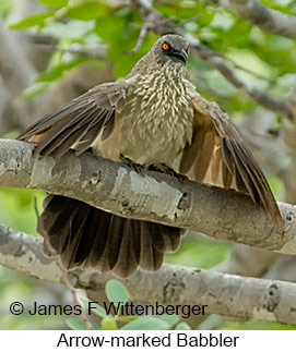 Arrow-marked Babbler - © James F Wittenberger and Exotic Birding LLC