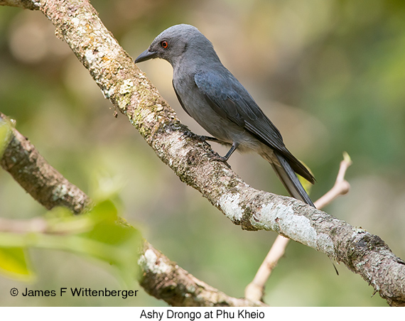 Ashy Drongo - © James F Wittenberger and Exotic Birding Tours