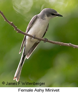 Ashy Minivet - © James F Wittenberger and Exotic Birding LLC
