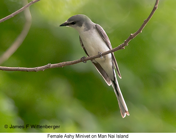 Ashy Minivet - © James F Wittenberger and Exotic Birding Tours