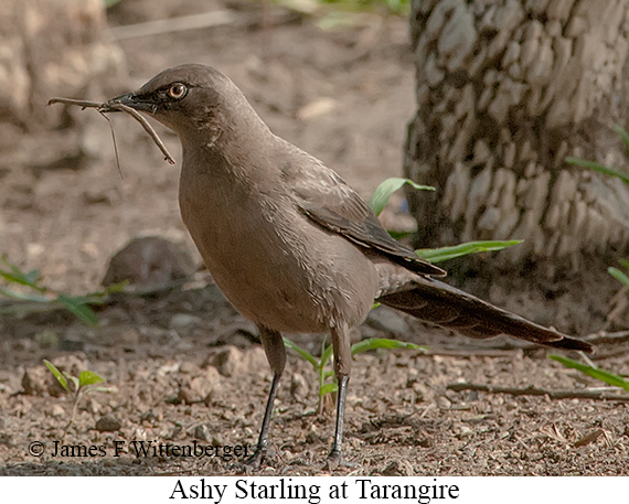 Ashy Starling - © James F Wittenberger and Exotic Birding LLC