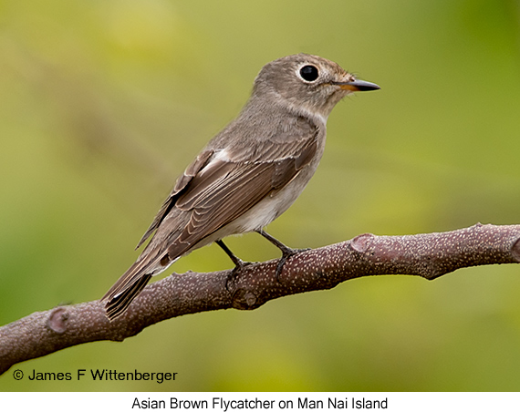 Asian Brown Flycatcher - © James F Wittenberger and Exotic Birding Tours