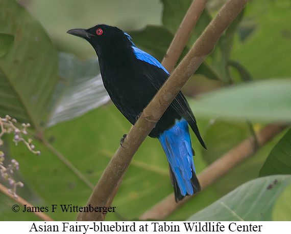 Asian Fairy-bluebird - © James F Wittenberger and Exotic Birding Tours
