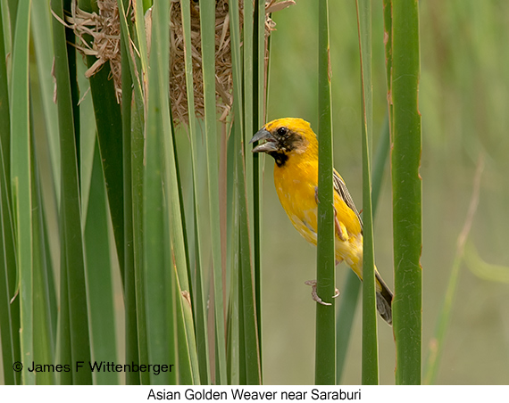 Asian Golden Weaver - © James F Wittenberger and Exotic Birding Tours