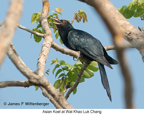 Asian Koel - © James F Wittenberger and Exotic Birding Tours