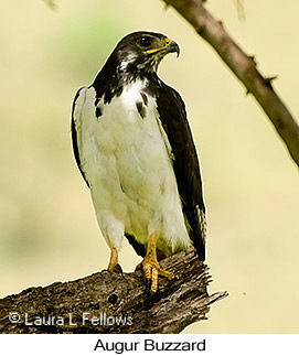Augur Buzzard - © Laura L Fellows and Exotic Birding LLC