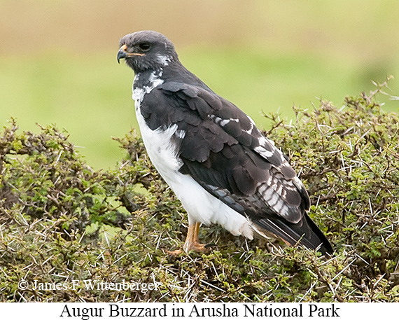 Augur Buzzard - © James F Wittenberger and Exotic Birding Tours