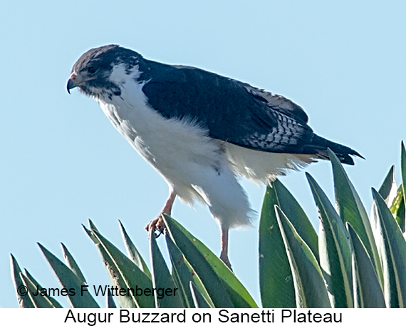 Augur Buzzard - © The Photographer and Exotic Birding LLC