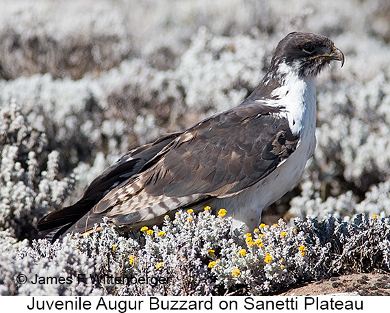 Augur Buzzard - © James F Wittenberger and Exotic Birding LLC