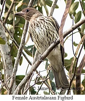 Australasian Figbird - © James F Wittenberger and Exotic Birding LLC