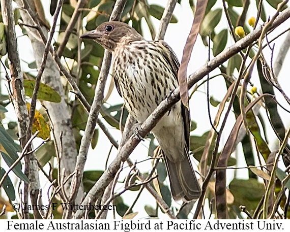 Australasian Figbird - © James F Wittenberger and Exotic Birding Tours