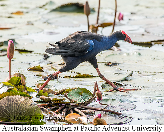 Australasian Swamphen - © James F Wittenberger and Exotic Birding Tours