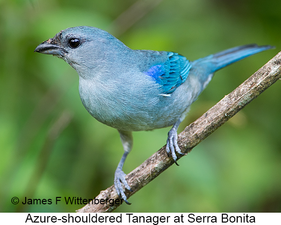 Azure-shouldered Tanager - © The Photographer and Exotic Birding LLC