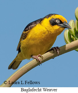 Baglafecht Weaver - © Laura L Fellows and Exotic Birding LLC