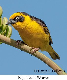 Baglafecht Weaver - © Laura L Fellows and Exotic Birding Tours