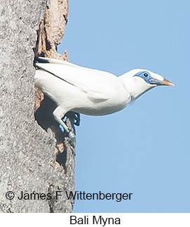 Bali Myna - © James F Wittenberger and Exotic Birding LLC
