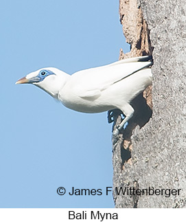 Bali Myna - © James F Wittenberger and Exotic Birding Tours