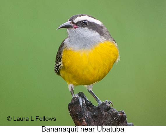 Bananaquit - © The Photographer and Exotic Birding LLC