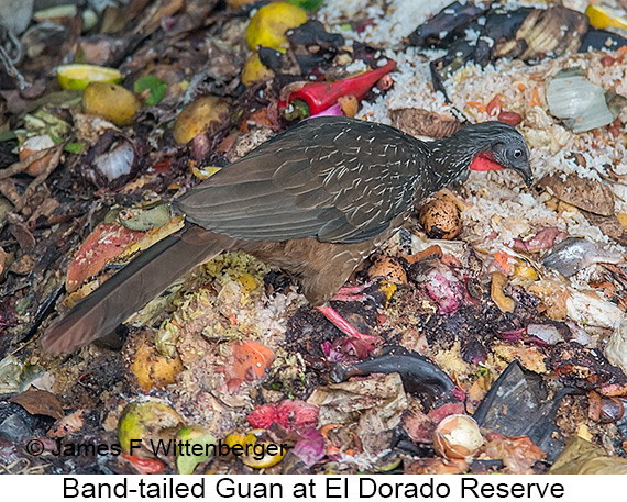 Band-tailed Guan - © The Photographer and Exotic Birding LLC