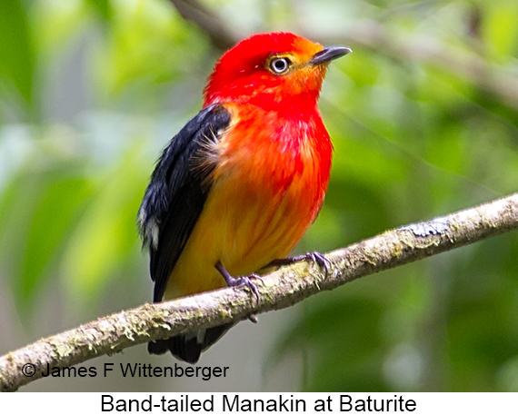 Band-tailed Manakin - © James F Wittenberger and Exotic Birding LLC