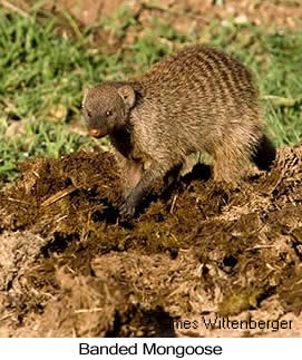 Banded Mongoose - © James F Wittenberger and Exotic Birding Tours