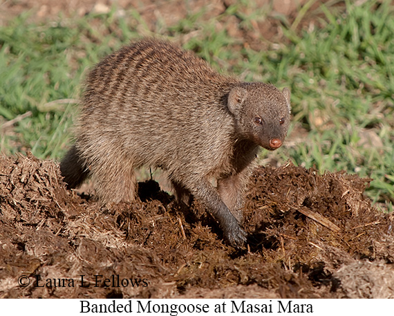 Banded Mongoose - © Laura L Fellows and Exotic Birding LLC