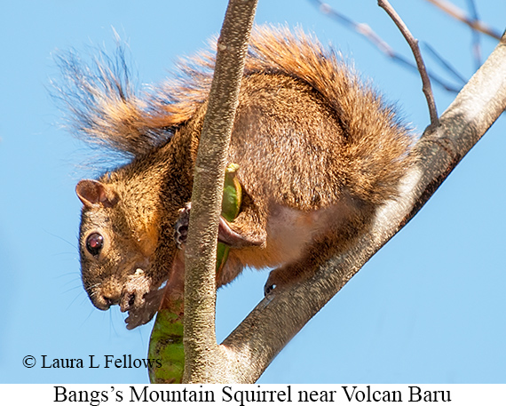 Bangs's Mountain Squirrel - © Laura L Fellows and Exotic Birding Tours