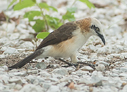 Bare-cheeked Babbler - © The Photographer and Exotic Birding LLC