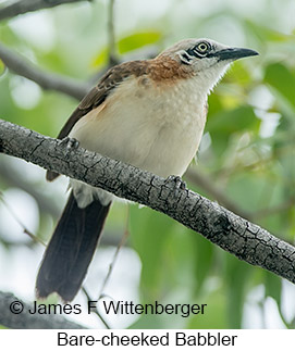 Bare-cheeked Babbler - © James F Wittenberger and Exotic Birding Tours