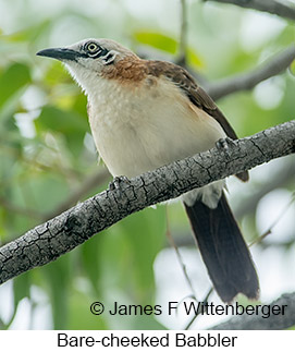 Bare-cheeked Babbler - © James F Wittenberger and Exotic Birding LLC