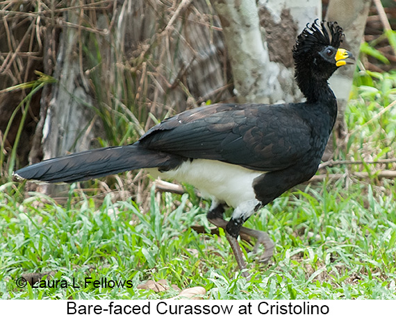 Bare-faced Curassow - © Laura L Fellows and Exotic Birding LLC