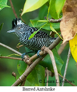 Barred Antshrike - © Laura L Fellows and Exotic Birding Tours