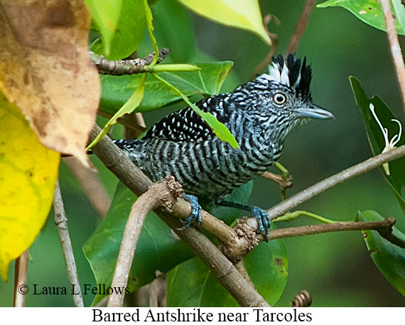 Barred Antshrike - © Laura L Fellows and Exotic Birding LLC