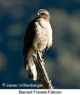 Barred Forest-Falcon - © James F Wittenberger and Exotic Birding Tours