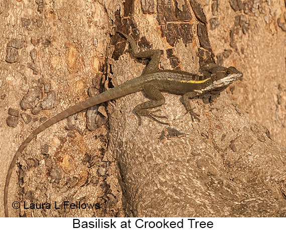 Basilisk - © The Photographer and Exotic Birding LLC