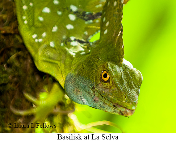 Basilisk - © Laura L Fellows and Exotic Birding Tours